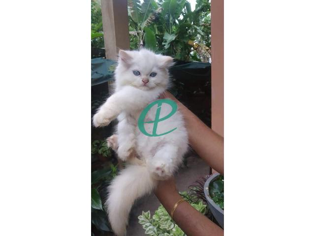 Persian kitten for sale - 1