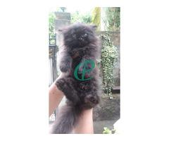 Persian kitten for sale - Image 2