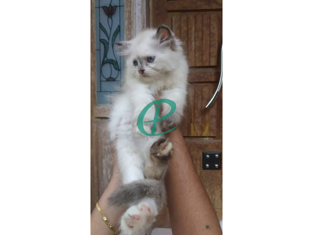 Persian kitten for sale - 3