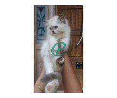Persian kitten for sale - Image 3