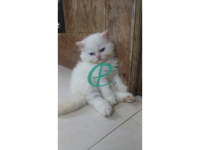 Persian kitten for sale - 4
