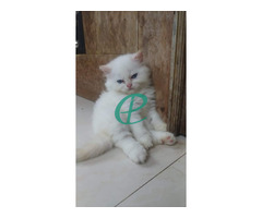 Persian kitten for sale - Image 4