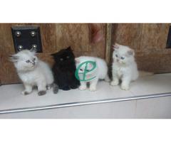 Persian kitten for sale - Image 5