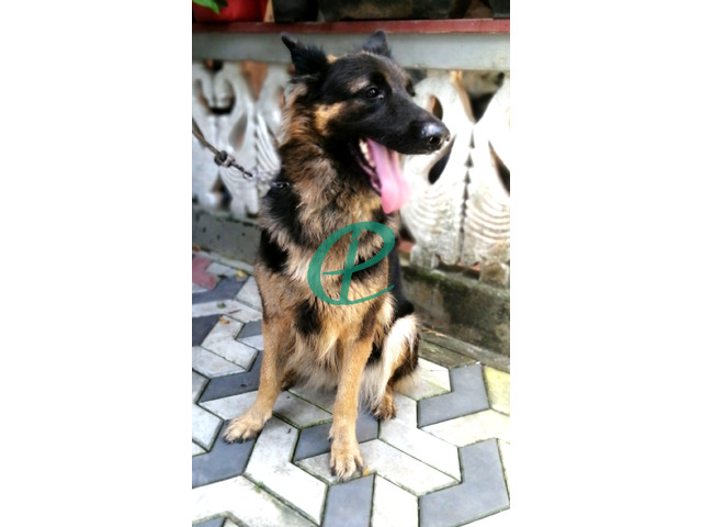 German Shepherd Female - 3