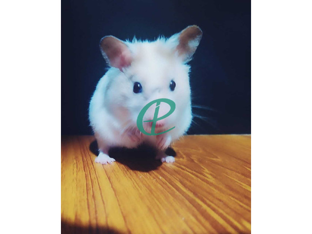 Syrian Hamsters - 1