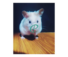 Syrian Hamsters - Image 1