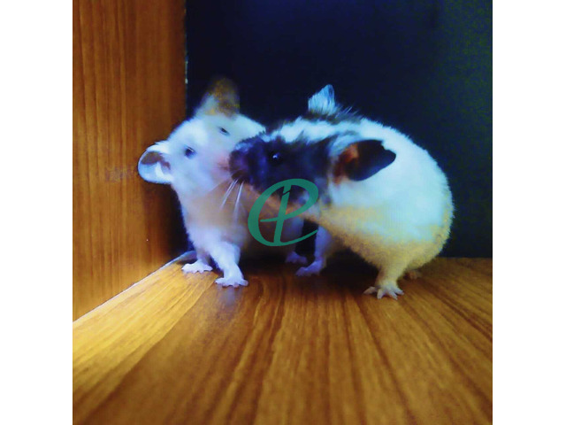Syrian Hamsters - 2