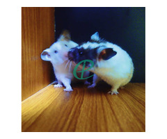 Syrian Hamsters - Image 2