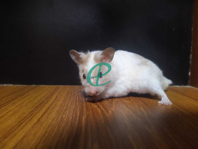 Syrian Hamsters - 3