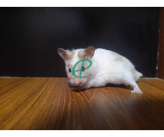 Syrian Hamsters - Image 3
