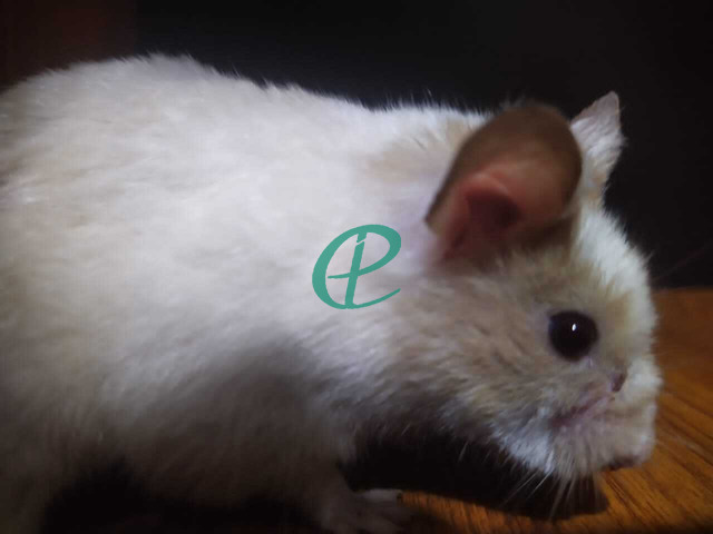 Syrian Hamsters - 4