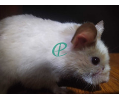 Syrian Hamsters - Image 4