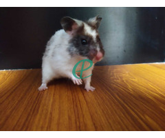 Syrian Hamsters - Image 5