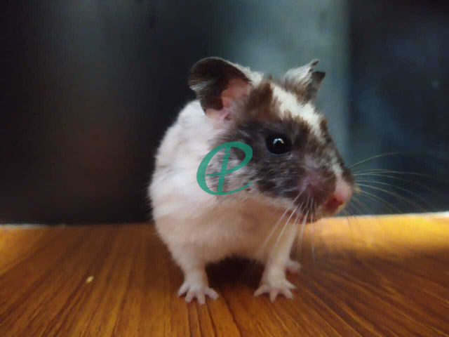 Syrian Hamsters - 6