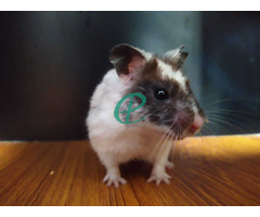 Syrian Hamsters - Image 6